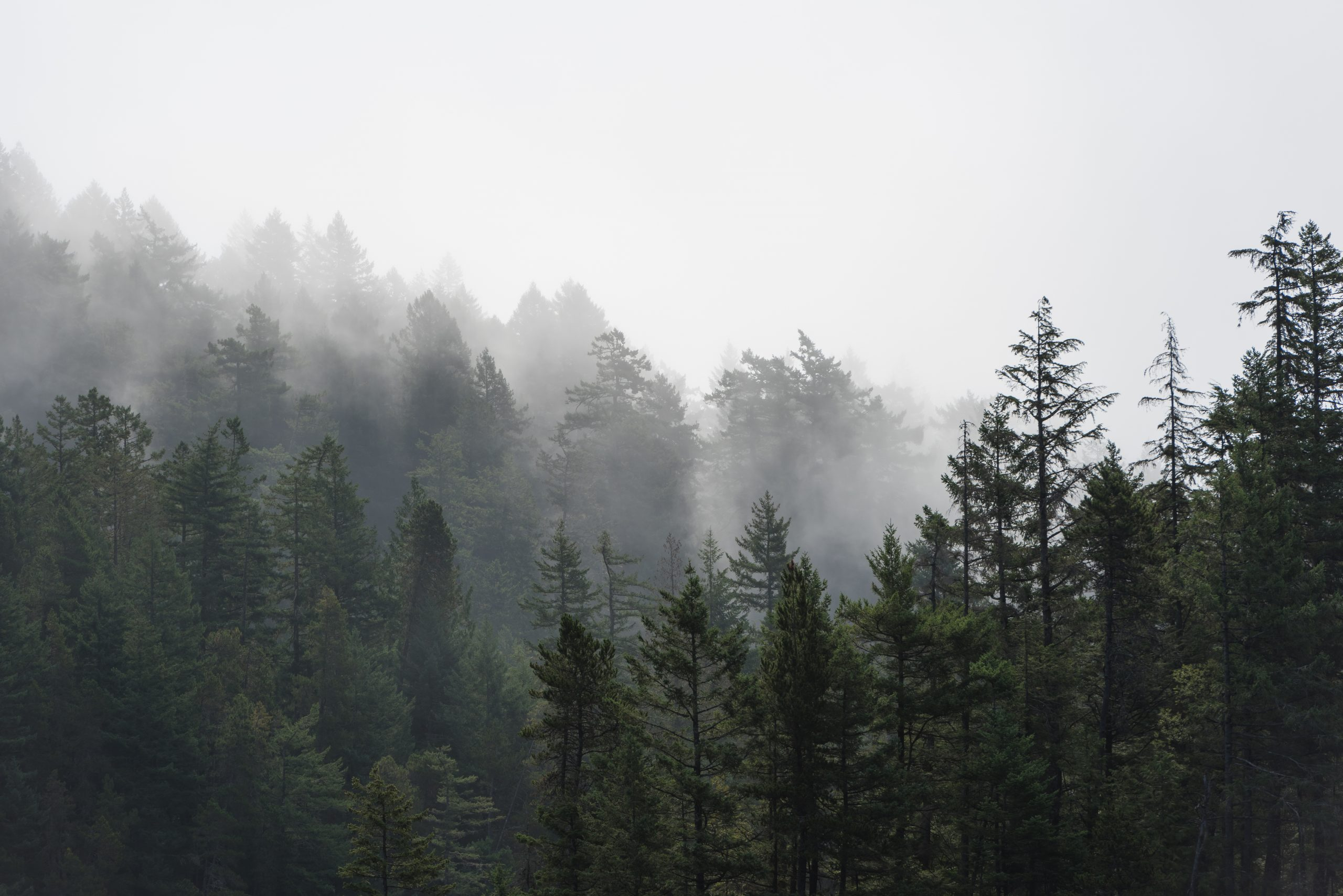 fog and evergreen trees